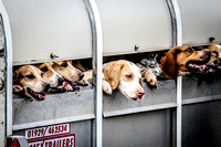 Pimpernel (Royal Signals) Beagles 10-Oct-15