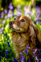 Finn in the Bluebells 17-Apr-16
